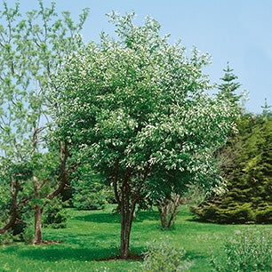 Prunus Virginiana - Common Chokecherry