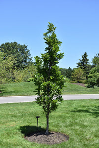 Quercus bicolor 'Bonnie and Mike' - Beacon® Swamp White Oak