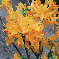 Rhododendron 'Golden Lights' - Golden Lights Rhododendron