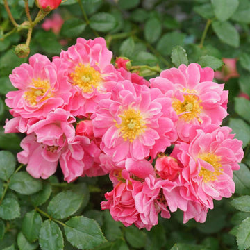 Rosa 'MEIRIFTDAY' - Oso Easy® Double Pink Rose