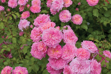 Rosa 'Meiswetdom' Standard - The Sweet Drift® Rose Standard