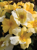 Rosa 'Radsunny' Standard - The Sunny Knock Out® Rose Standard