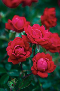 Rosa 'Radtko' Standard - The Double Knock Out® Standard