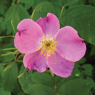 Rosa Blanda - Meadow Rose