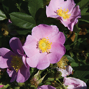Rosa Palustris - Swamp Rose