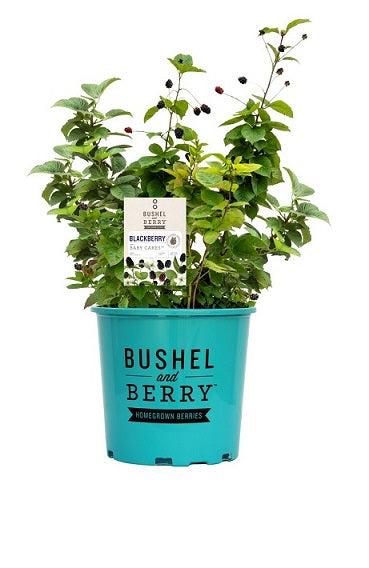 Rubus 'APF-236T' - Bushel and Berry™ Baby Cakes™ Blackberry