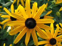 Rudbeckia fulgida - Orange Daisy