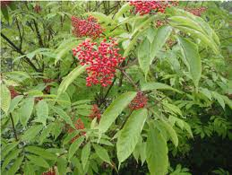 Sambucus Pubens - Red Elderberry