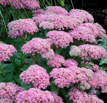 Sedum 'Beach Party' - Party Hardy™ Beach Party Stonecrop