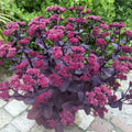 Sedum 'Chocolate Cherry®' - Chocolate Cherry® Sedum