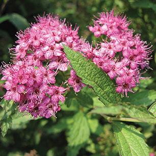 Spiraea japonica 'Anthony Waterer' - Anthony Waterer Spirea