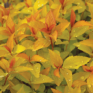 Spiraea Japonica 'Goldflame' - Goldflame Spirea