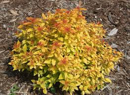 Spiraea Japonica 'NCSX1' - Double Play® Candy Corn® Spiraea