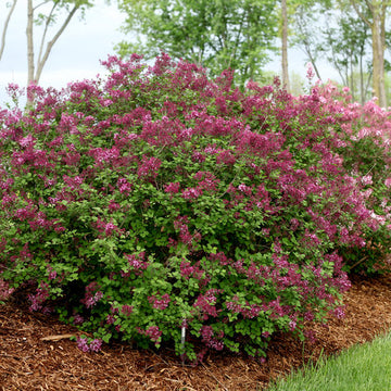 Syringa 'SMSJBP7' - Bloomerang® Dark Purple Lilac