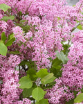 Syringa Meyeri Flowerfesta® Purple - Flowerfesta® Purple Dwarf Lilac