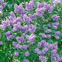 Syringa Vulgaris - Common Lilac