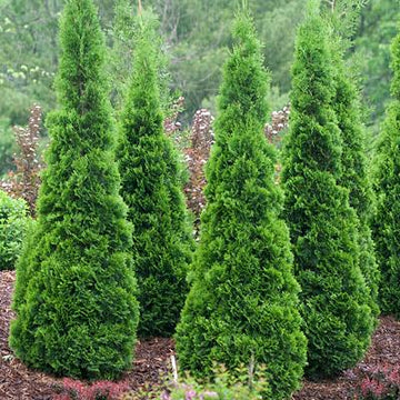 Thuja occidentalis 'Art Boe' - North Pole® Cedar