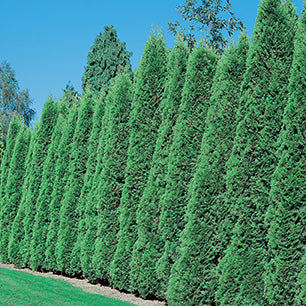 Thuja Occidentalis 'Smaragd' - Emerald Cedar