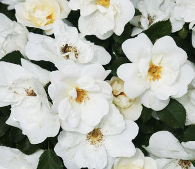 Rosa 'Radwhite' - The White Knock Out® Rose