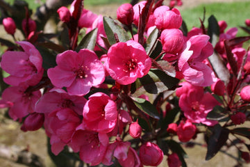 Malus 'JFS-KW5' - Royal Raindrops Crabapple
