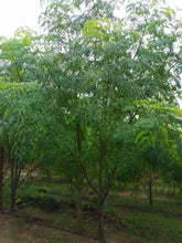 Load image into Gallery viewer, Moringa Seeds - Special ODC3 Variety - 20 pack