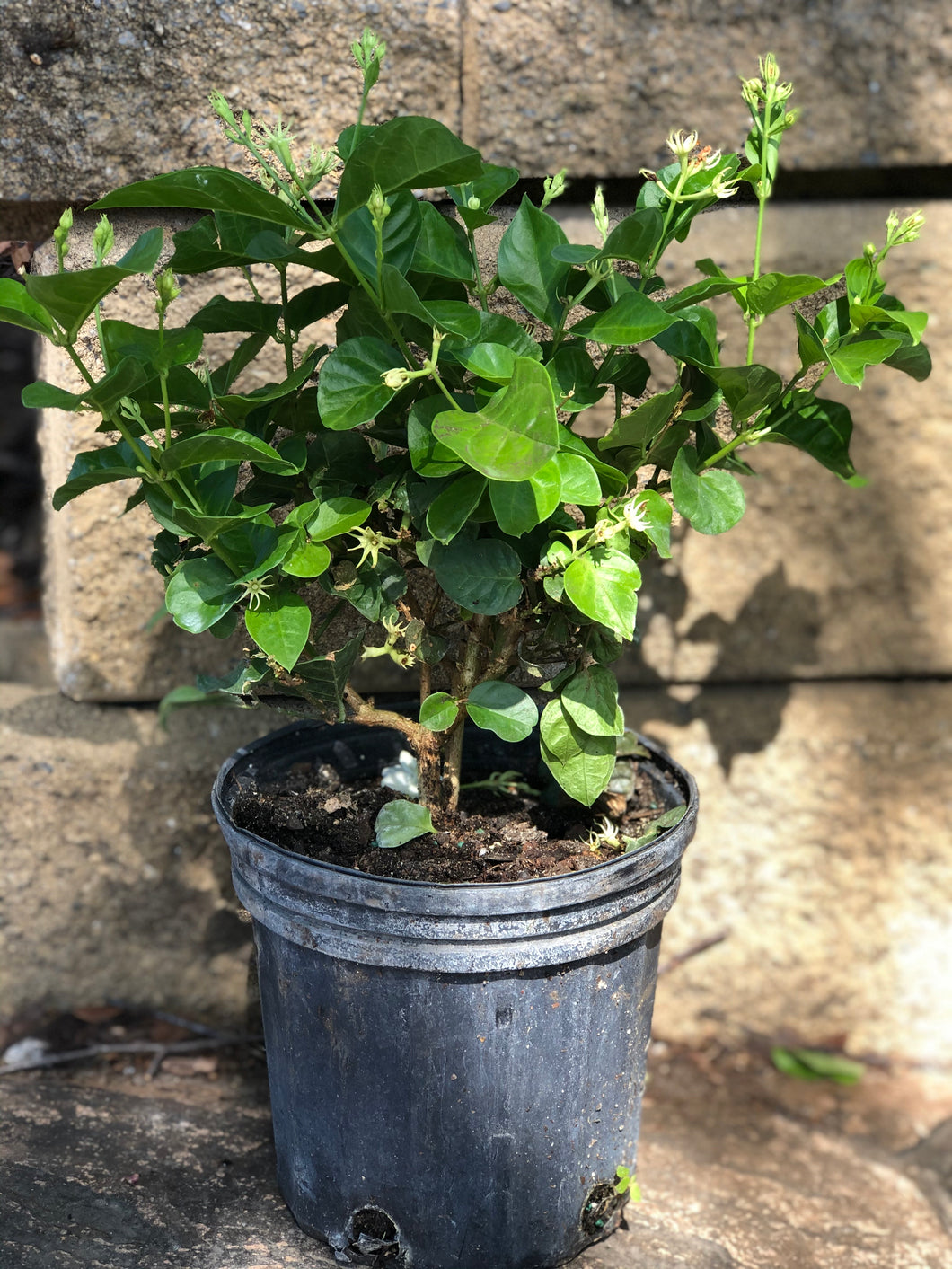 "Shipping in May 2021 - 6"" / 1Gallon Maid Of Orleans Jasmine"