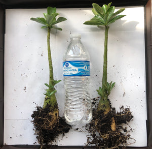 Adenium / Dessert Rose plant - 2 plants - Free Shipping - Available for back order and will take atleast 2 weeks to ship