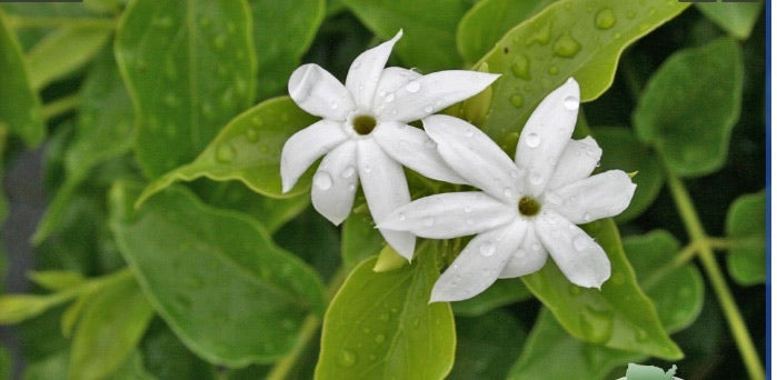 May 2021 Shipping -, Downy Jasmine (Jasminum pubescens) - Free Shipping of 2 Starter Plants - Shipped in 2 weeks