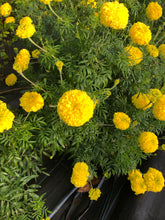Load image into Gallery viewer, Marigold / Maravilla /  Cempasuchil flowers -  10 stalks