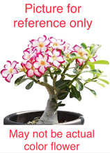 Load image into Gallery viewer, Adenium / Dessert Rose plant - 2 plants - Free Shipping - Available for back order and will take atleast 2 weeks to ship