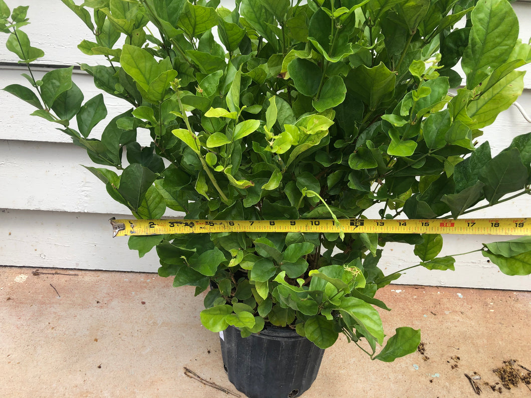 Belle Of India Jasmine - Big Matured Plant - Shipping in 2 weeks