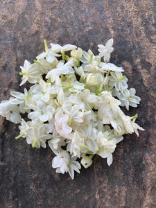 Arabian Jasmine(Jasminum sambac) - Available for back order and will take atleast 2-4 weeks to ship