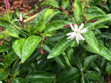 Load image into Gallery viewer, Angel Wing jasmine - Big Matured plant - Shipping in 2 weeks