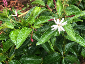 Angel Wing jasmine - Big Matured plant - Shipping in 2 weeks