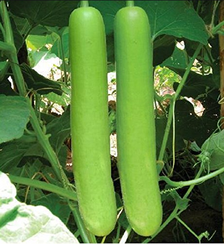 Bottle Gourd Long - Sorakaya Seeds - 10+ seeds