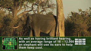 Animal Hearing Facts - Elephants