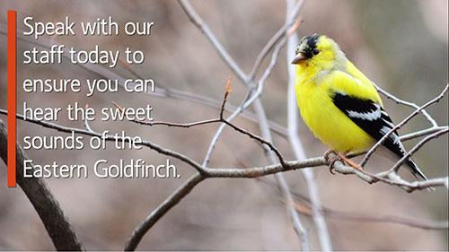 Missing the Birds: Eastern Goldfinch