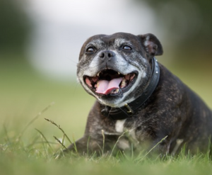 Considerations for Feeding your Senior Dog