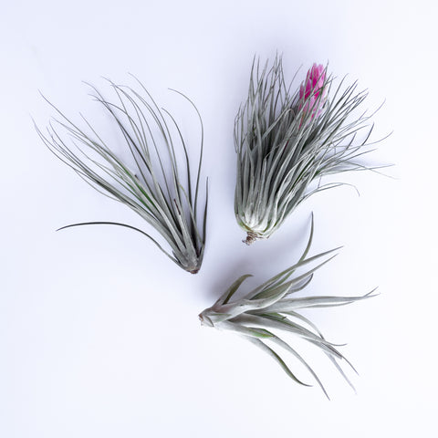 Air Plant - Large