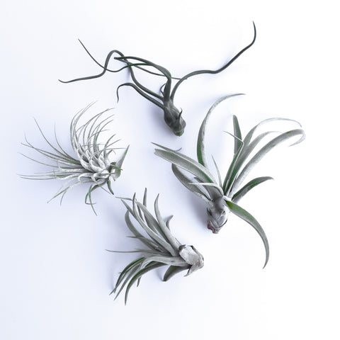 Air Plant - Small