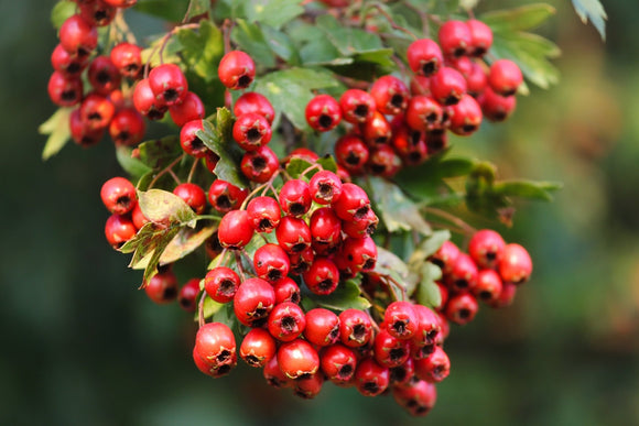 8 Unique Health Benefits of Hawthorn | Fruit Of Spirit