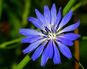 The Medicinal and Medical Uses of Chicory Root