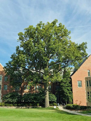 MSU Heritage Tree Swamp White Oak