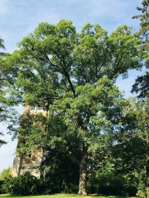 MSU Heritage Tree White Oak