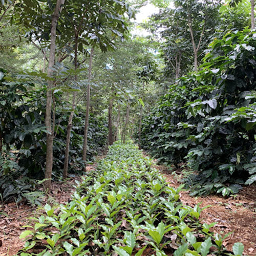 coffee growing in rainforest