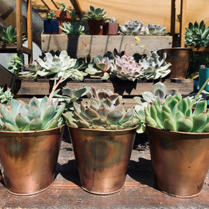 Succulents in Gorgeous Copper Pots & Copper Potted Succulent Gift Packs