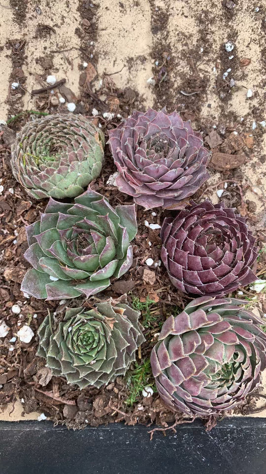 Hens and Chicks Cuttings (Large)