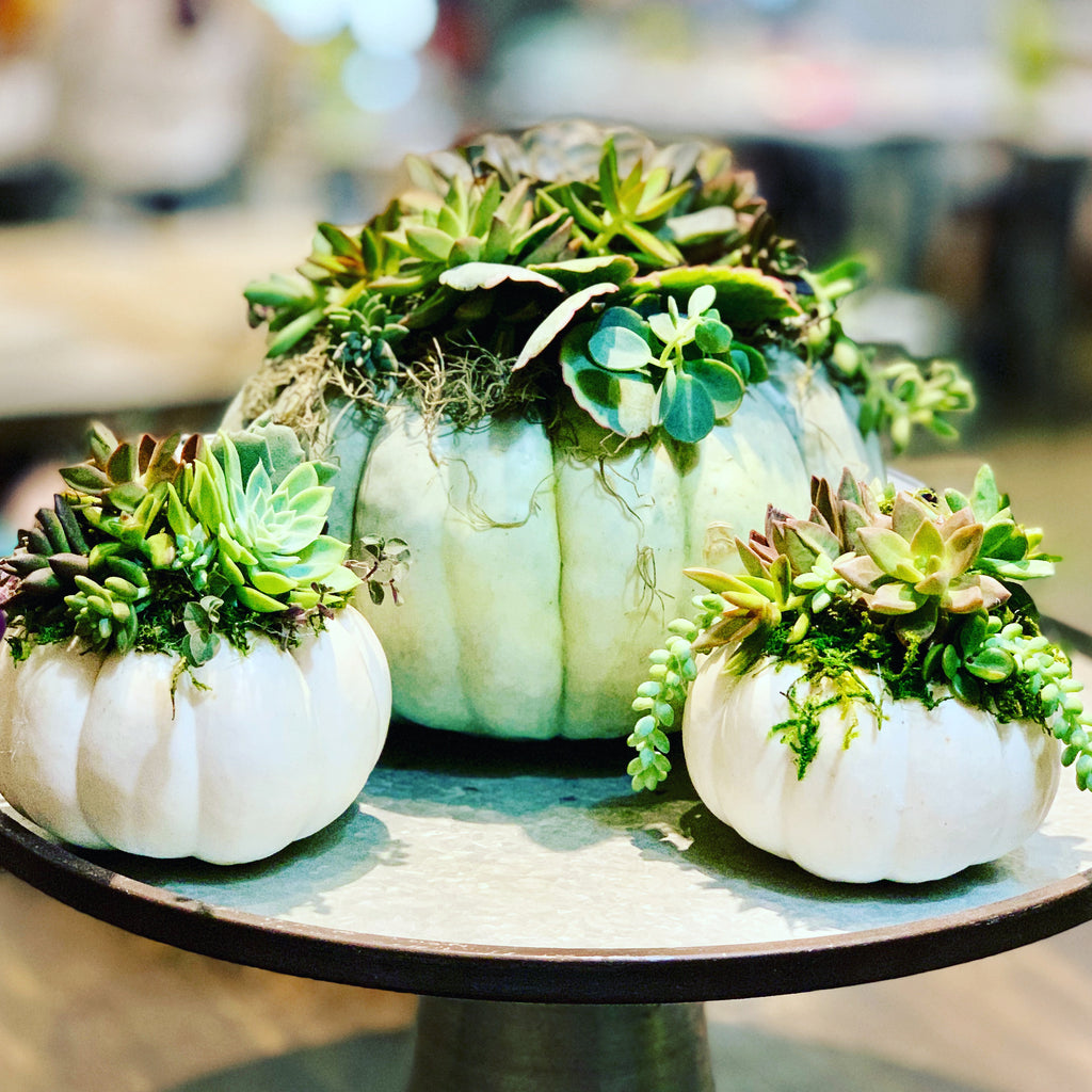 Pumpkin Succulent DIY KIT