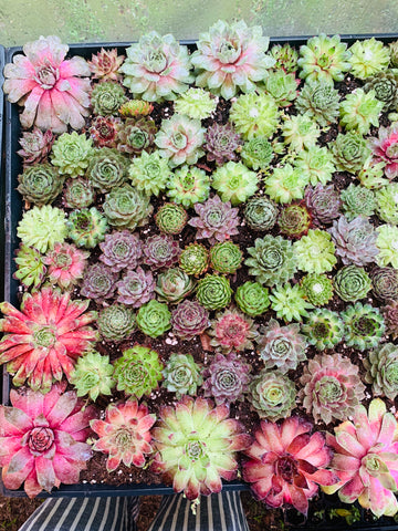 Sempervivum cuttings ½ pound bag