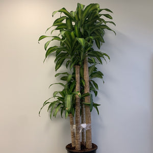 "14"" Dracena Massangeana (Corn Plant) 4 stem - Four Seasons Garden Centre"